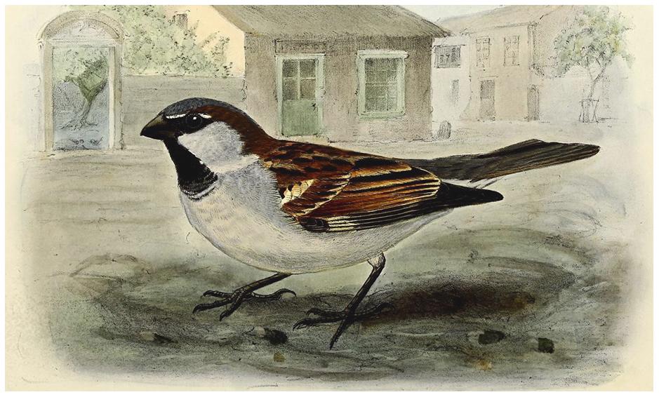 Wróbel może nam wyćwierkać tajemnice swojego imienia.Grafika: J.G. Keulemans, źródło: Biodiversity Heritage Library (DP).