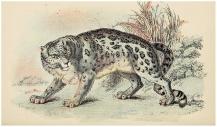 etymologia nazwy irbis i pantera